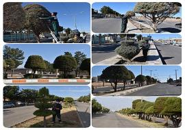 هرس و فرم دهی درختان فضای سبز